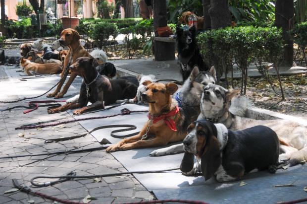MÉXICO, D.F., 16OCTUBRE2015.- Algunos que jovenes que se ganan la vida entrenando y paseando a perros en el parque México en la colonia Condesa mantienen a las mascotas en vigilancia y juntos en los circuitos, así mismo no permiten que ingresen a las areas verdes ante la alerta de envenenamiento de los caninos en dicho parque. FOTO: SAÚL LÓPEZ /CUARTOSCURO.COM